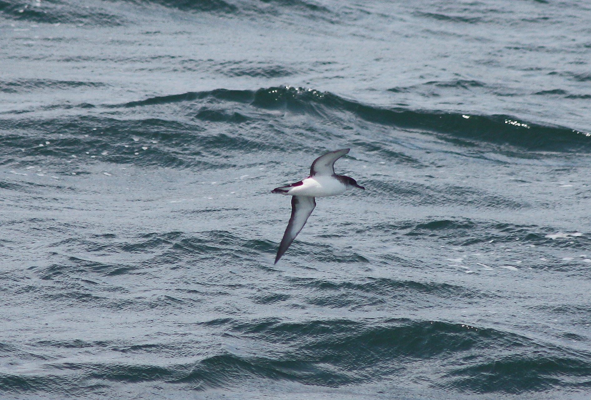 Huge influx of Manx Shearwaters - Assynt Field Club